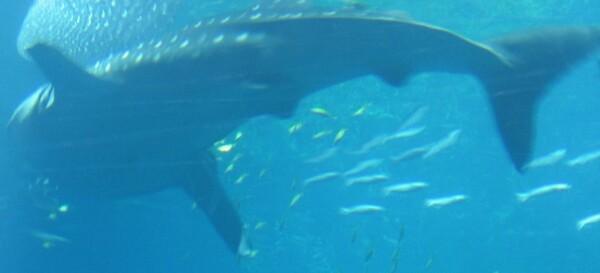 whalesharkatlaqua.resized.jpg