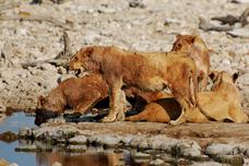 Lví smečka