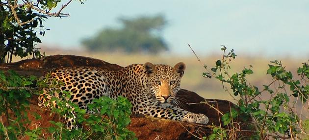 E.leopard.jpg