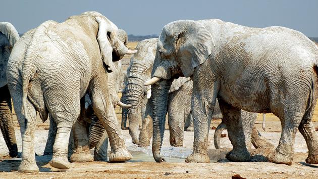 E.sloni.jpg