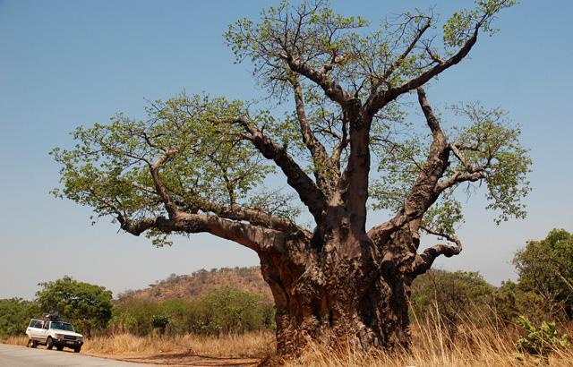 Jeden z bizardních baobabů