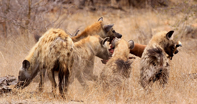 Smečka hyen bojuje o zbytka antilopy