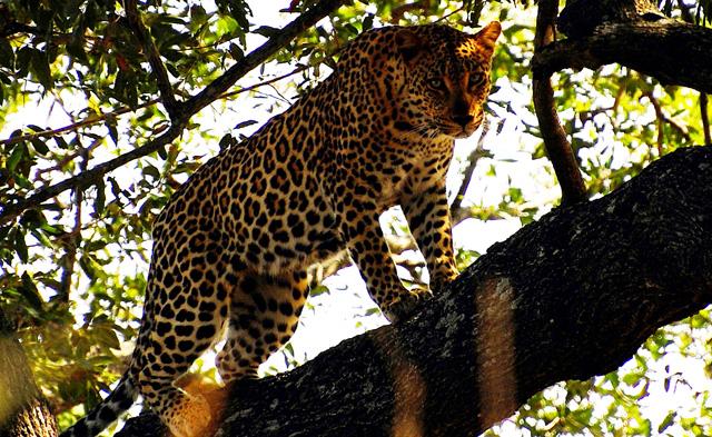 South Luangwa se pyšní početnou populací leopardů