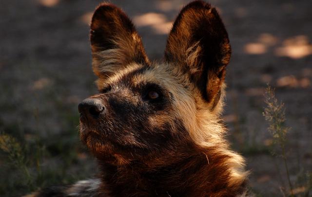 Pes hyenovit�