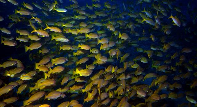 Reefy jsou bohaté na hejna ryb