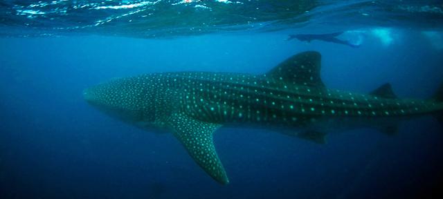 Žralok velrybí a Jitka