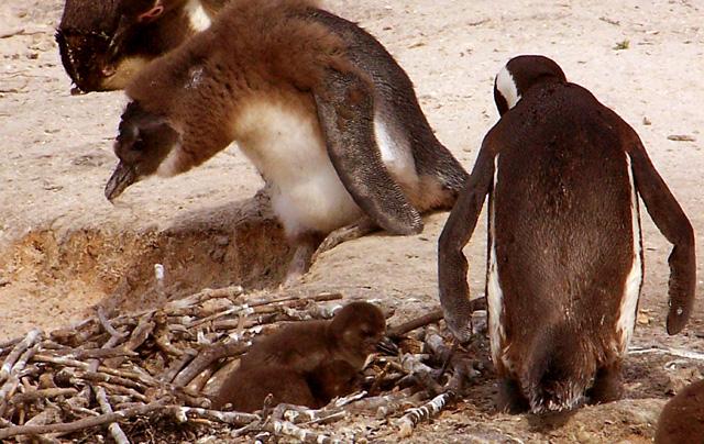 Hnízdící tučňáci