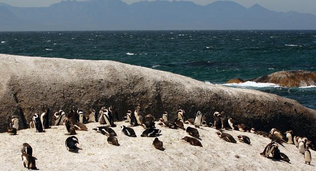 Kolonie ohrožených Tučňáků brýlatých