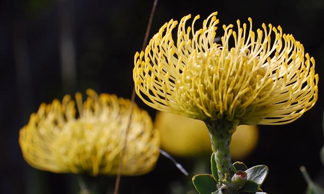 Fynbos - keř Protea