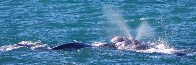Pravá jižní velryba