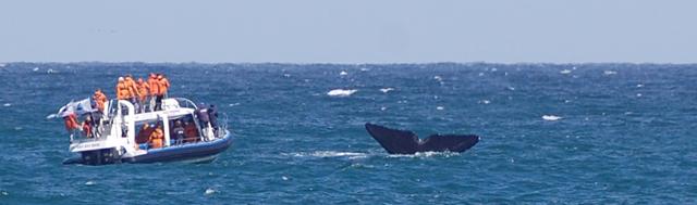 Výlet za velrybami - Gansbaai