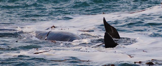 Pravá Jižní Velryba - břicho