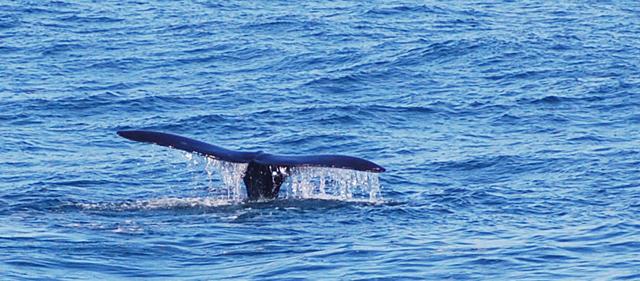 Pravá Jižní Velryba - ocasní ploutev