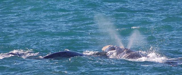 Vyfukující velryba