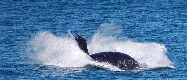 Dovádějící velrybí mládě
