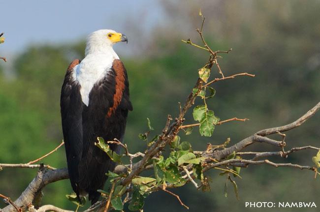 Orel jasnohlasý - Fisheagle
