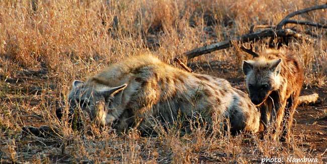 Hyena skvrnitá - máma s mládětem