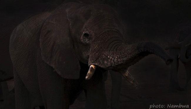 sloní večerní návštěva