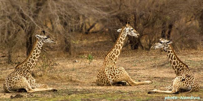žirafy - South Luangwa