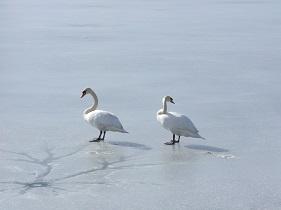 Labutě na rybníku