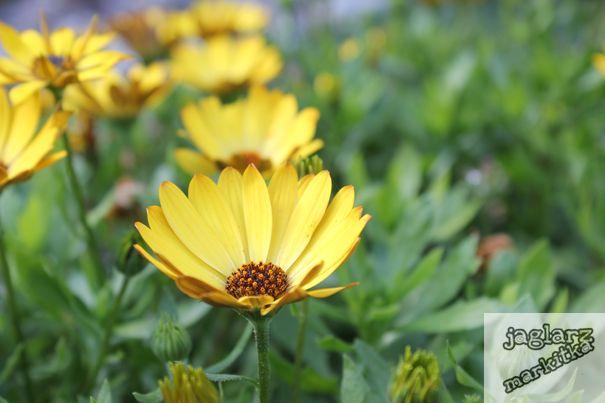 zlute-kvetinky.jpg