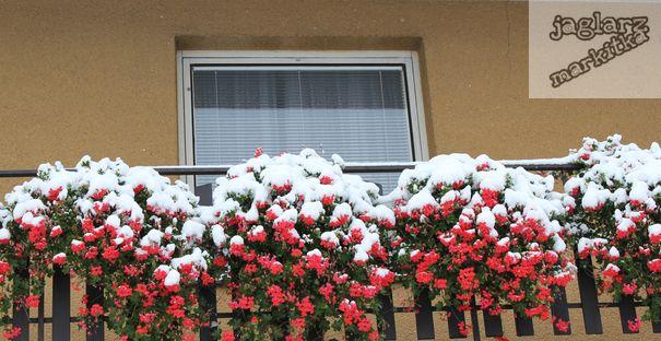 muskaty-pod-snehem.jpg