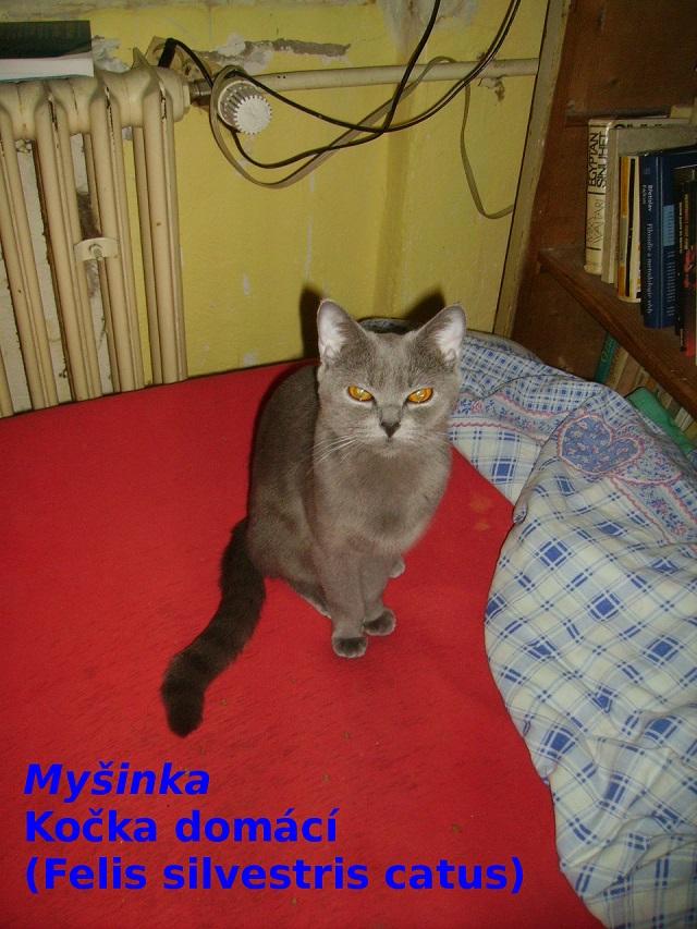 Kočka domácí - Myšinka