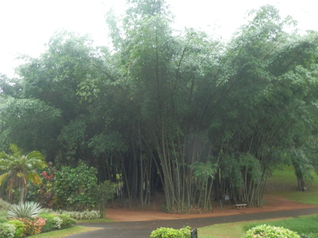 Bamboo_Tree.JPG