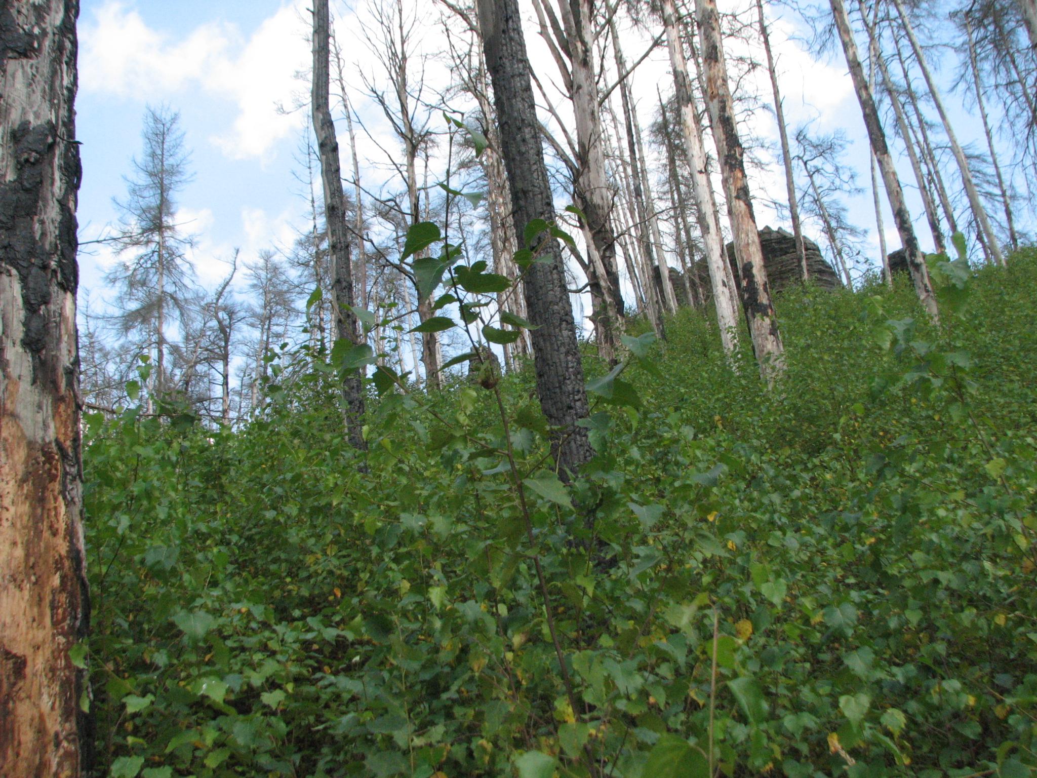 V roce 2006 v blízkosti Jetřichovic v NP České Švýcarsku shořelo 15 hektarů lesa. V roce 2009 jsme si mohli potvrdit, jak dekadence nastartovala nový les.