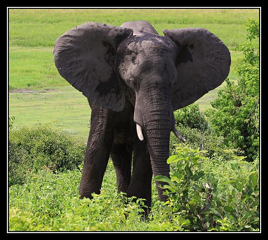 Slon_narodni_park_Chobe.jpg