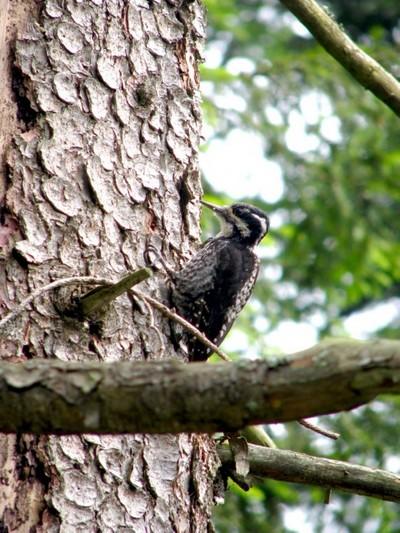 Datlík tříprstý na suchých stromech u pramenů Vltavy
