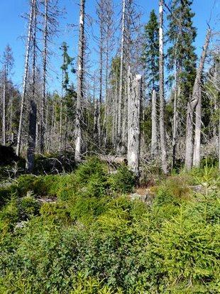 Pohled na suché stromy (obnovující se les)